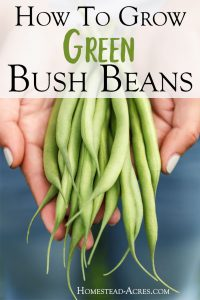 I love growing green bush beans in my backyard garden! Come and see how to grow bush beans and tips for how to plant and care for beans for great harvests. They are the perfect vegetable to start growing for beginner gardeners.