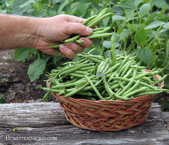 Harvesting Green Bush Beans