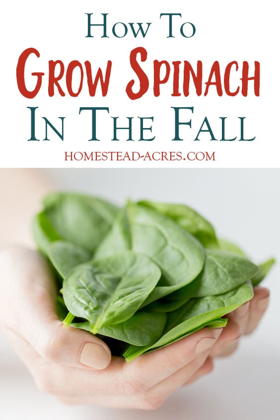 How to grow spinach in the fall