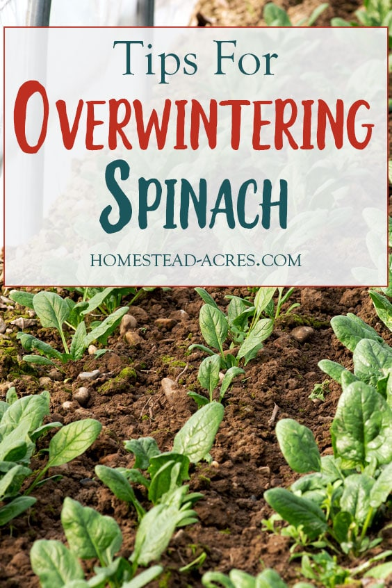 Tips For Overwintering Spinach