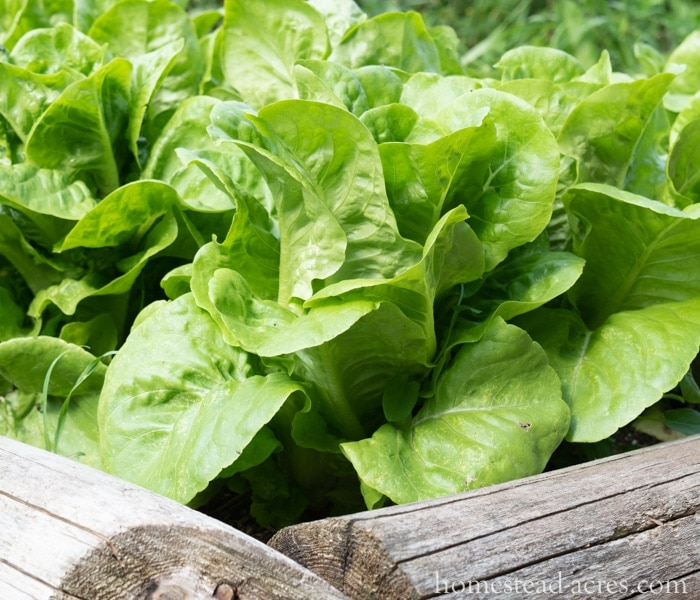 Growing Lettuce - What To Plant In A Fall Garden