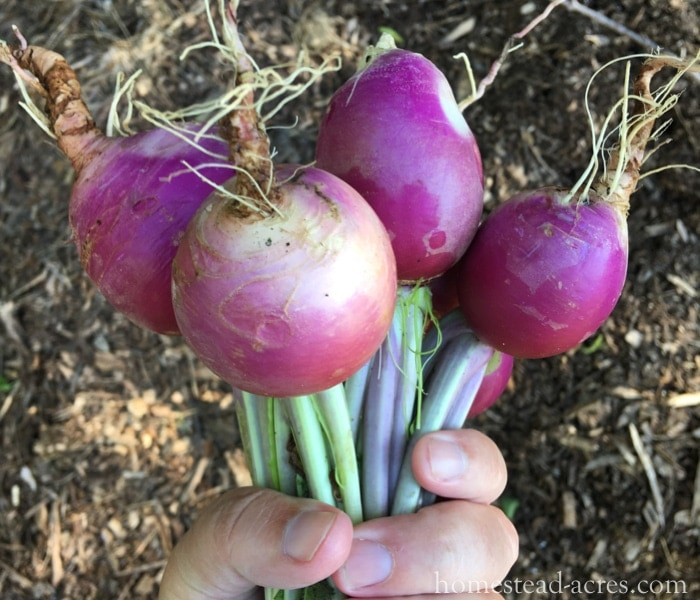 Growing Turnips - What To Plant In A Fall Garden