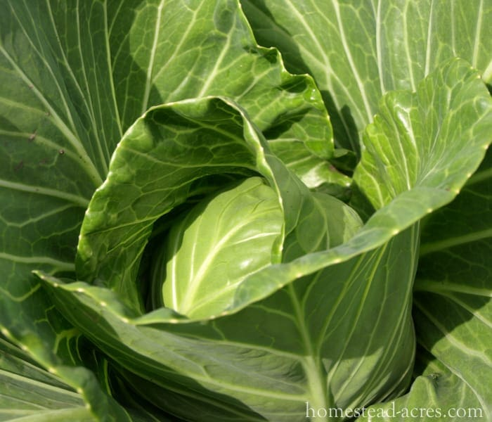 Growing Cabbage - What To Plant In A Fall Garden