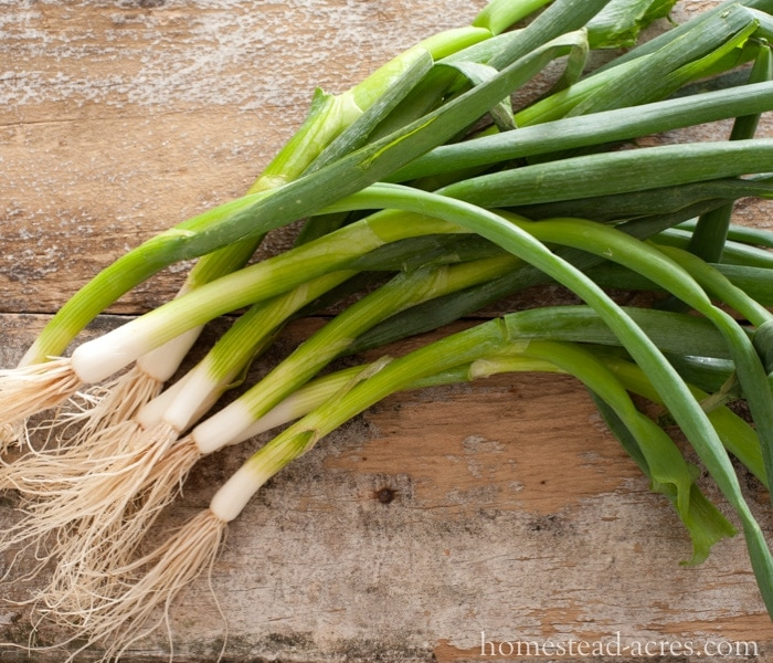Growing Green Onions - Growing A Fall Garden