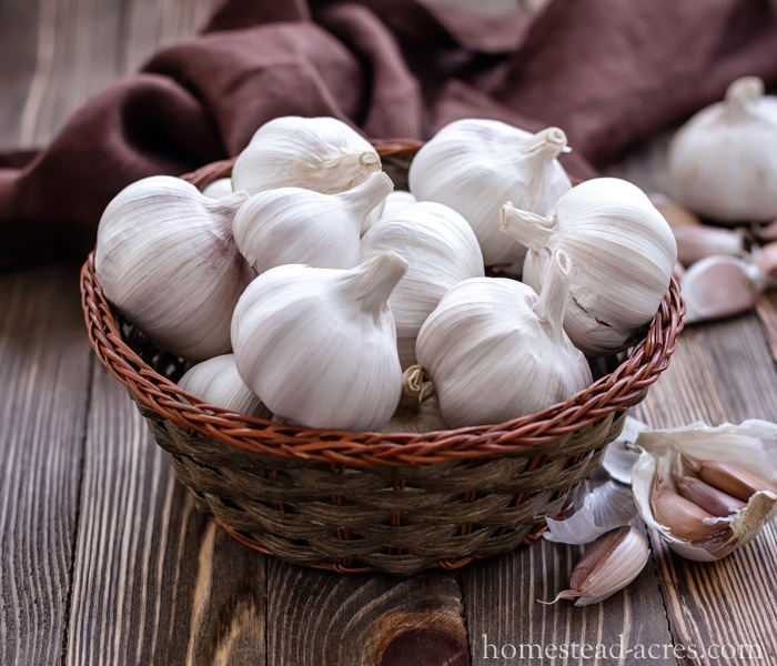Growing Garlic - What To Plant In Your Fall Garden