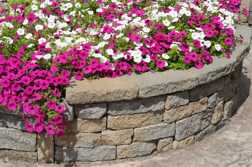 A simple, curved retaining wall that forms a circular planter full of petunias.