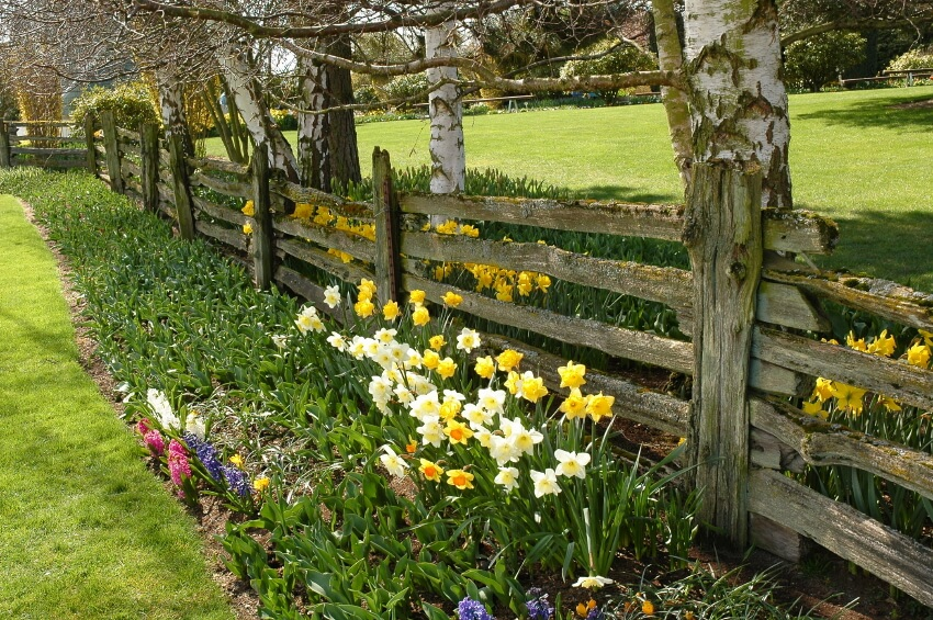 A farm-style wooden fence with moss growing on the uneven slats. Simple planting beds with daffodils have been planted on both sides of the fence.