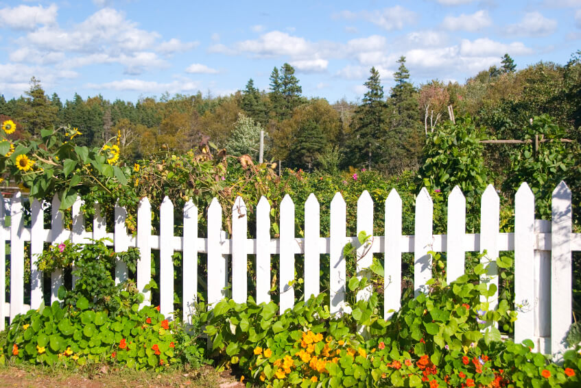 A simple picket fence with an overgrowth of sunflowers and vines .