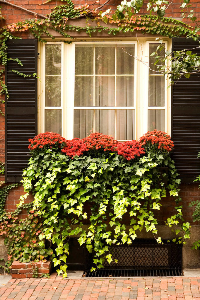 A window box with ivy pouring out and touching the ground below. Red mums are planted above the ivy.