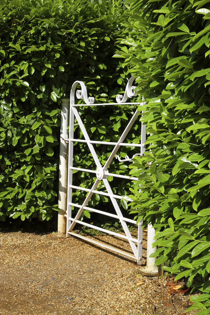 The glossy leaves of these hedges add a touch of luxury to this quiet path. The white wrought iron gate is a nice contrast to the green of the foliage.