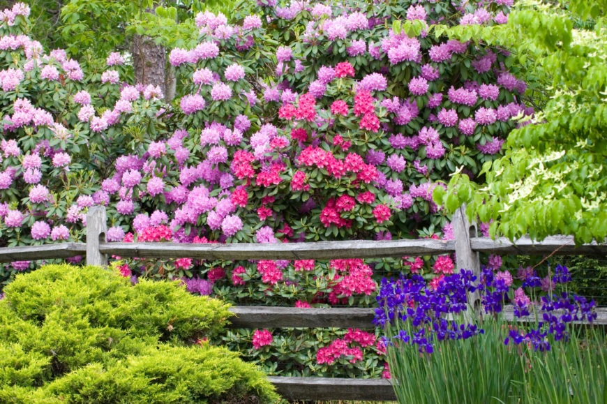 A lovely aged split rail fence with thick irises, shrubs, and flowering trees in bold, beautiful colors.