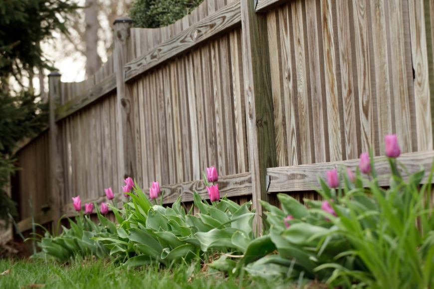 Beautiful scallop-top fence with a line of pink tulips along one side.