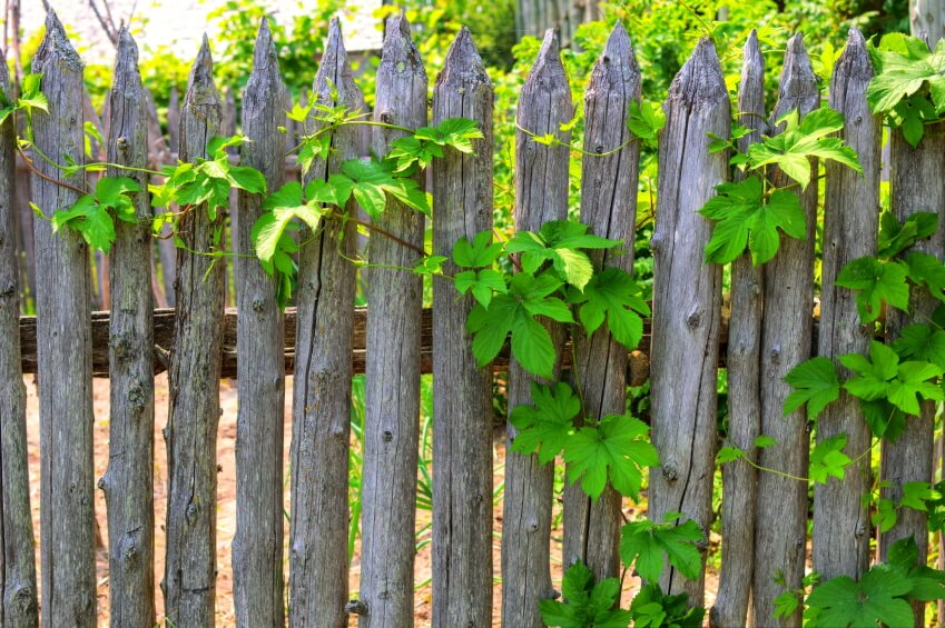 A raw wood picket fence has an interesting rustic look.