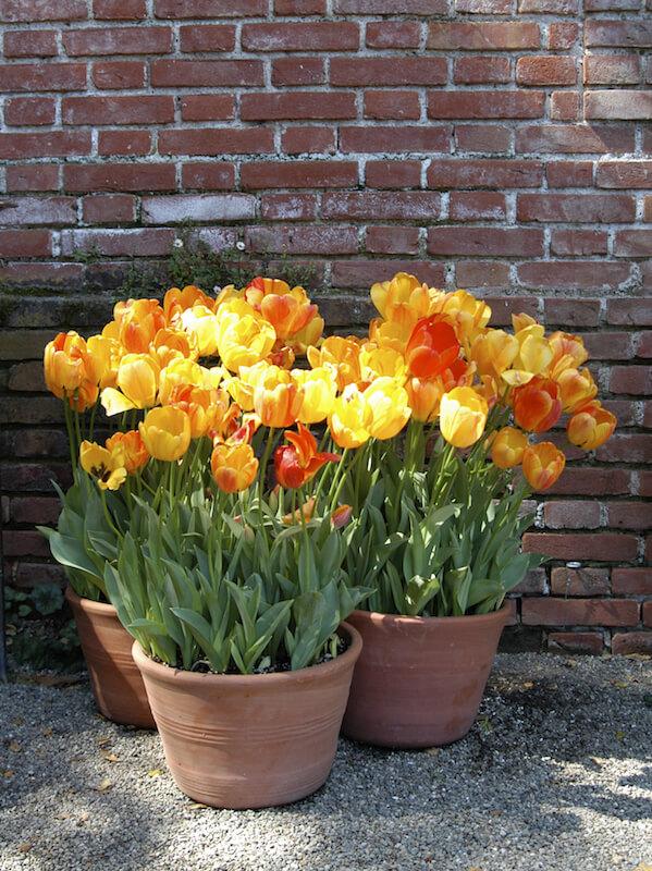 Beautiful red, orange, and yellow standard tulips dominate this small arrangement of three terra cotta planters.