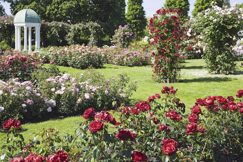 This thick garden is just filled with many different kinds of roses, creating a classic, and no doubt fragrant garden.