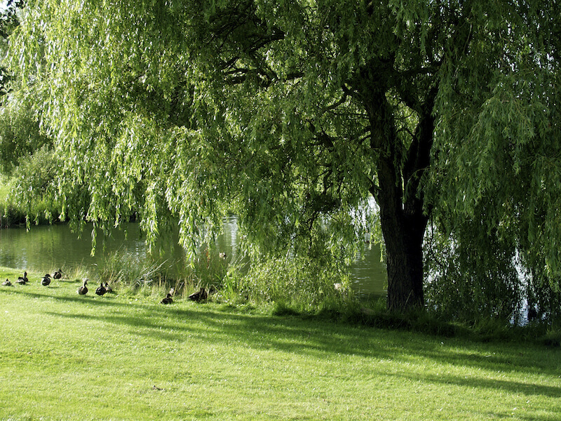 This huge, fully mature tree sits on the bank of a quiet lake, providing shade to a flock of ducks.