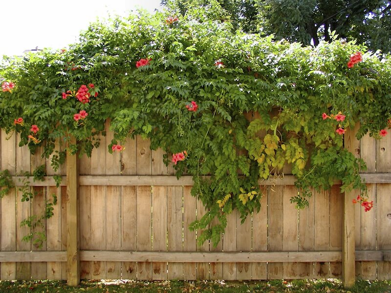 Vines can even be used to cascade over a privacy fence and dress it up with color and fragrance.