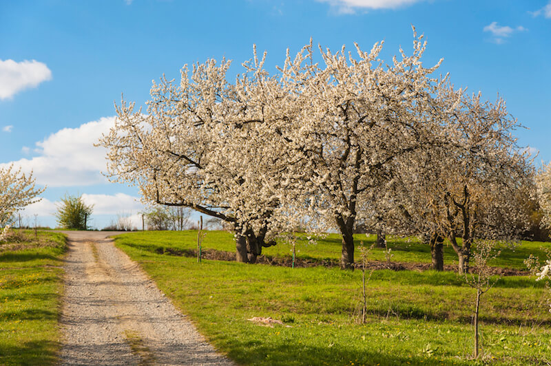 Even when they aren't bearing fruit, cherry trees have glorious flowers in the spring time.