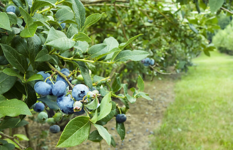 Blueberries are easy to structure into rows, and produce the brightly colored berries each season.