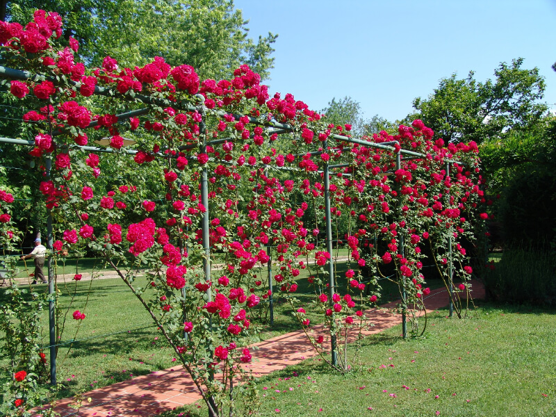 Deep pink roses are trained to climb over a metal arch to add shade and color to this brick walkway. Once this structure fills in with roses, it will create a rose covered tunnel.
