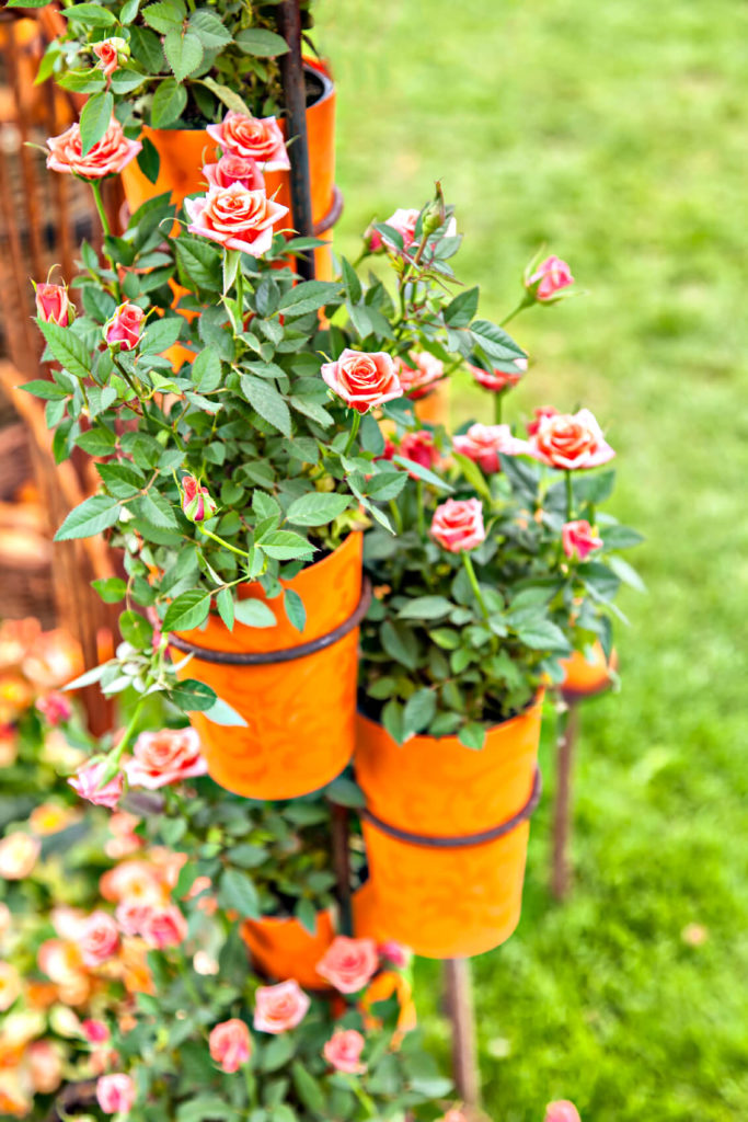 If you are limited on space and don't have a large yard for a rose garden, consider these mini potted roses.