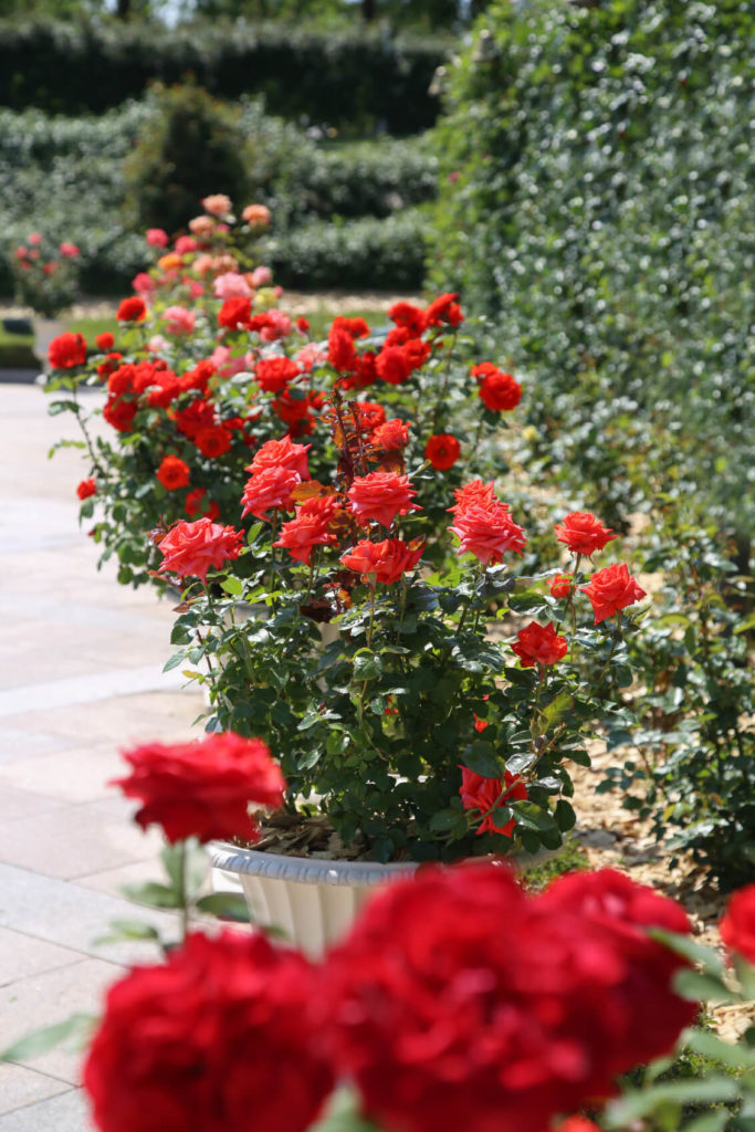 Grow roses in pots so that they can be easily moved around the yard. You can also reinvent your garden by simply moving the pots.