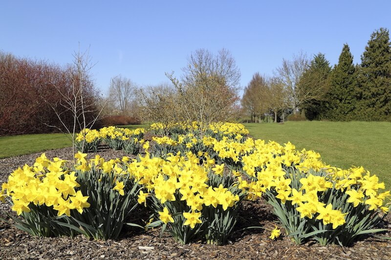 This is a flat flowerbed set flush with the ground. Bunches of lovely yellow flowers adorn this flower bed. There are a couple of trees here as well. Planting some flowers around a tree is a great way to accentuate the tree, letting it stand out.