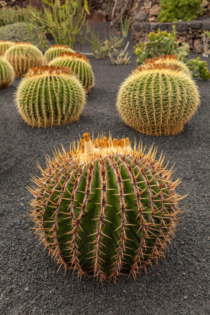 Cacti are unlike many other plants and come in interesting shapes, with interesting and fun features. While the spikes may not look inviting they add depth and texture to a garden.