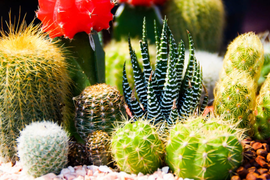 Here We See A Number Of Vibrant, Colorful And Visually Interesting Little  Cacti. It