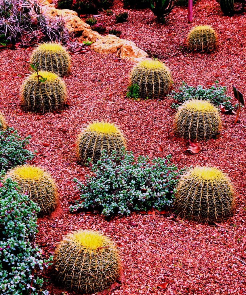 A cactus garden is an opportunity to play with color and design. The cacti shown above are great for patterns, arrangements, and designs.