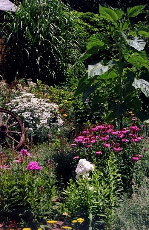In This Picture, Purple Coneflowers And White Summer Phlox Grow Amongst A  Deep Green Backdrop