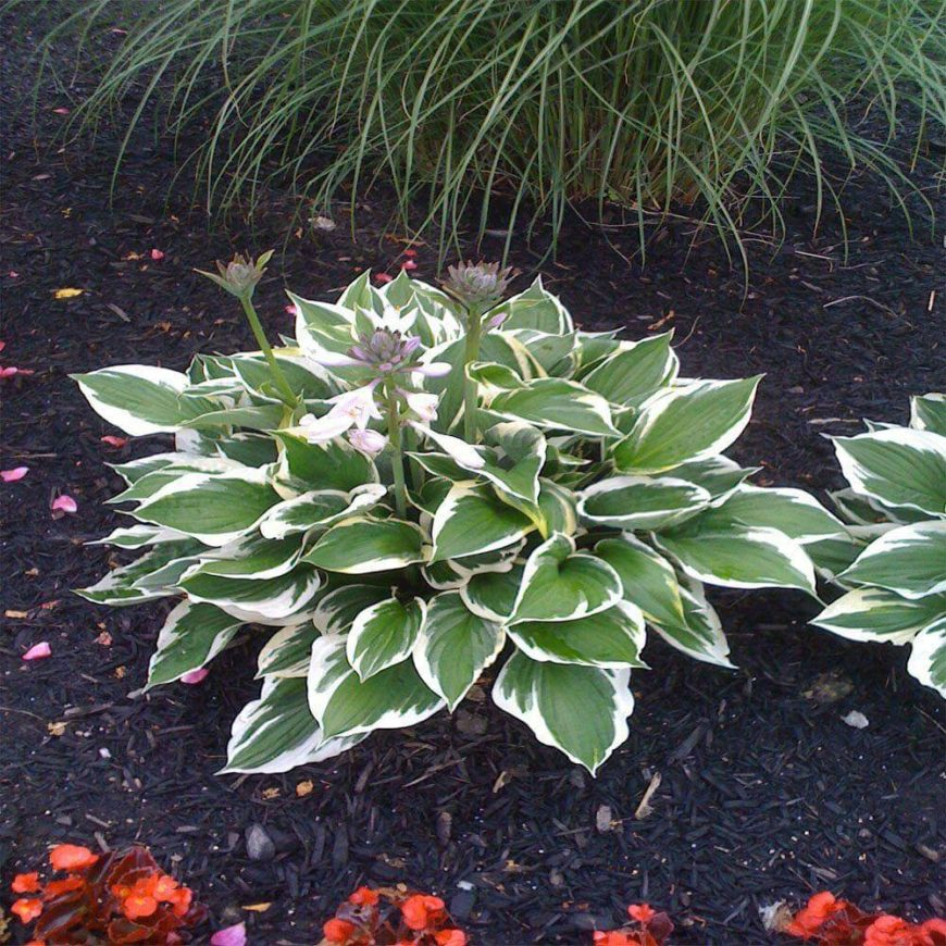 Pictured here is the patriot hosta. This perennial is a fabulous plant that can help fill out your garden and add a touch of extra flair.