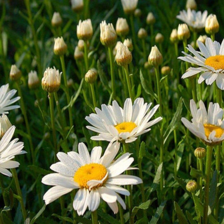 Daisies are popular flowers. These flowers are bright and happy and often used to symbolize spring, happiness, and joy.