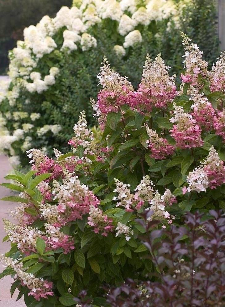 Hydrangeas are perfect flower bushes for along paths and walkways. These bushes can be used to mark off spaces all while providing lovely colors.