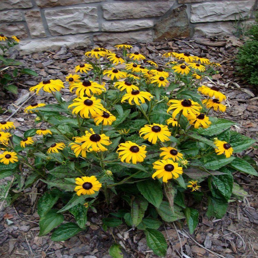 47 gorgeous perennial garden ideas home stratosphere the black eyed susan is a great perennial that adds amazing dramatic contrast among your mightylinksfo