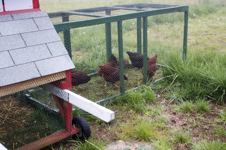 When you've got a dynamic backyard full of activities, you might want a chicken coop that's rather portable. This unique is lightweight due to its metal framing, and features built-in wheels for easy movement.