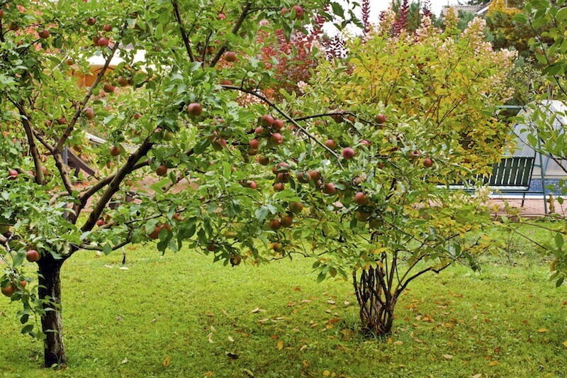 There are lots of different fruit trees out there that you can mix and match to get a variety of fruit in your harvest. This is one way to make sure that you don't get overly saturated with only one type of fruit.