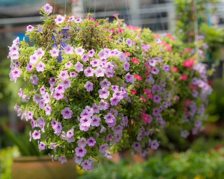 70 hanging flower planter ideas photos and top 10 home stratosphere a close up photograph of light pink petunias in a hanging basket mightylinksfo