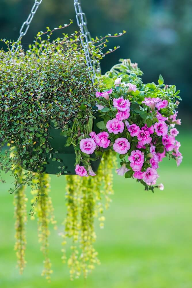Example of a hanging flower basket that is a combination of flowers and plants.