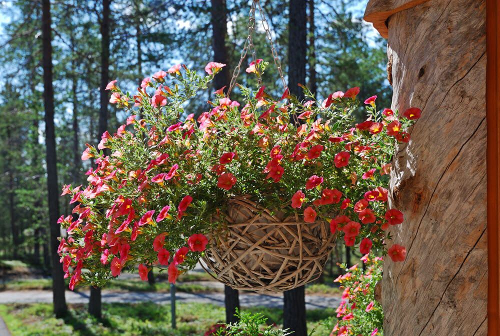 Massive hanging basket with red flowers whose pot sits in a twisted branch basket.