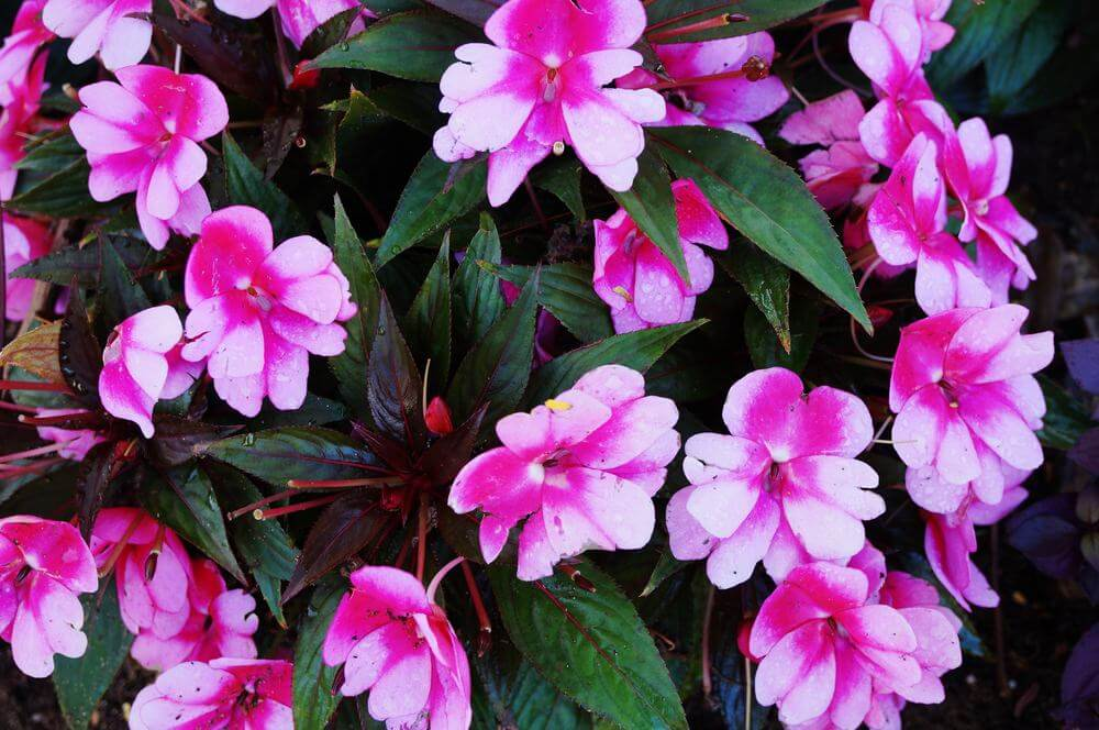 Close up of pink Impatiens.