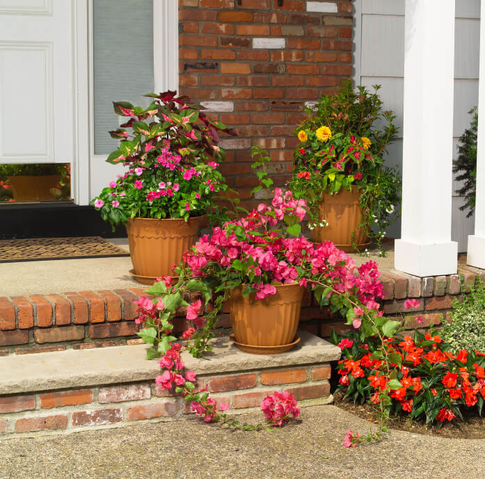 "Some of the common tropical flowers like bougainvillea and ""mayana"" planted in large plastic pots with bottom plastic pot plates."