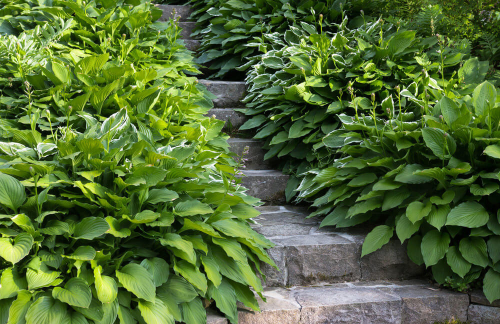 Leafy shrubs and gilt edge silverberries take up most of the side space in these stone garden steps, making for a narrow pathway.