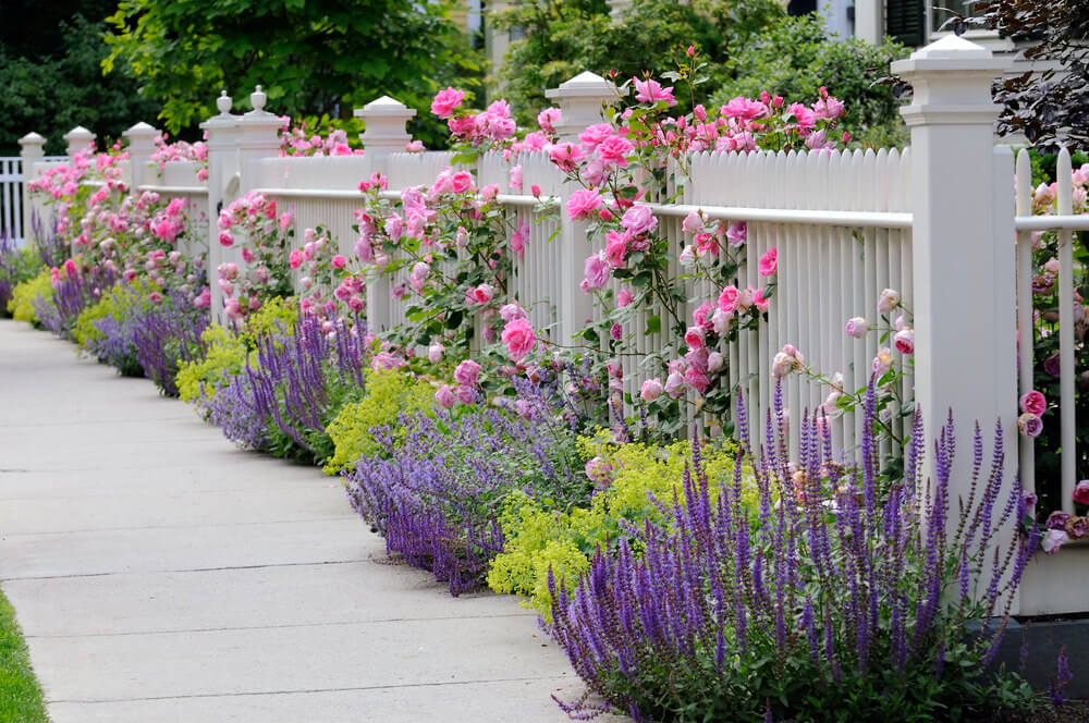 Full-bloomed pink roses peek out the gaps of metal fencing along with purple blossoms and greenery that lie along a concrete walking path.