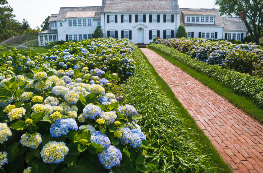 Brick walkway to large white mansion lined with long rows of blue and yellow hydrangeas on each side.