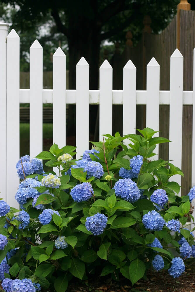 Small hydrangea bush in front of white picket fence.