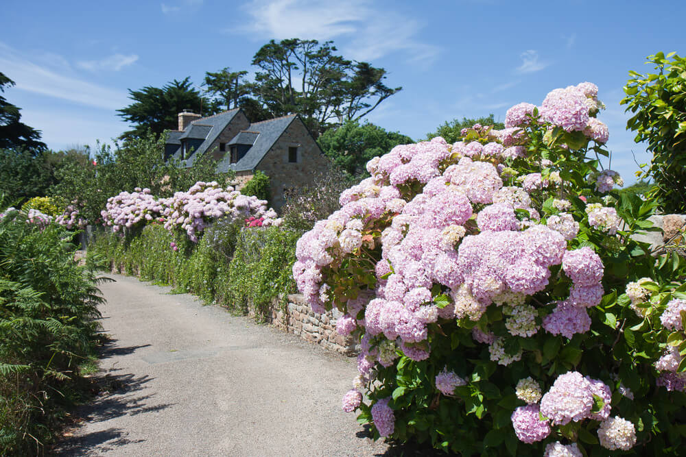 Windy road lined with tall pink hydrangea flowers in full bloom.