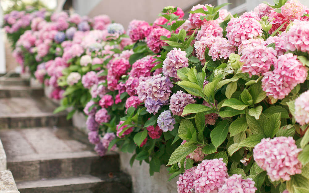 Bright pink and soft pink hydrangeas along steps and a walkway.