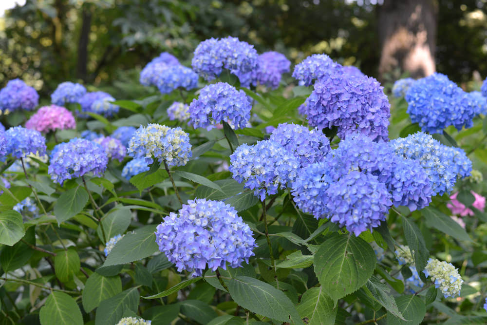 Tall, elegant blue hydrangea flowers.