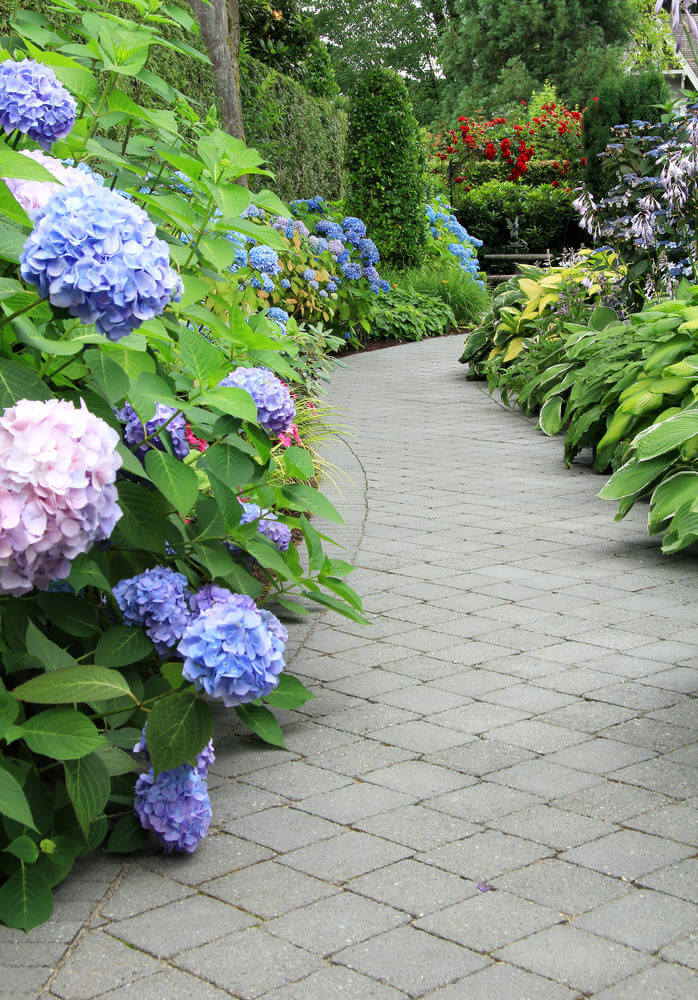 Tall hydrangea bushes in full bloom along a brick walkway.